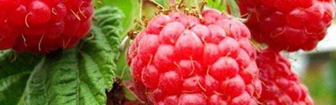Когда пересаживать малину – премудрости опытных садоводов