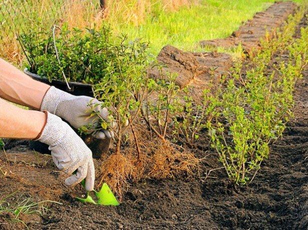 Как правильно посадить барбарис