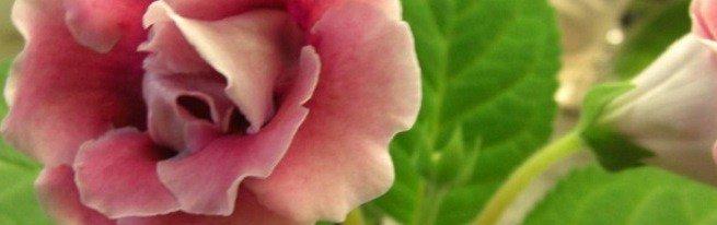 Глоксиния махровая и ее сортовое разнообразие