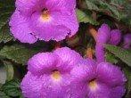 Как вырастить красивоцветущую глоксинию