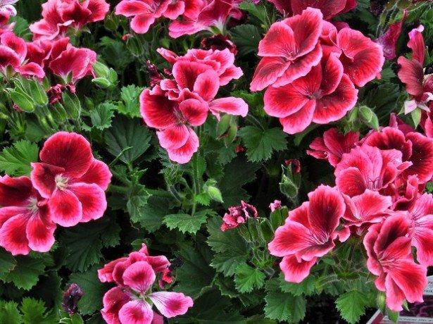 Бегония королевская цветок фото