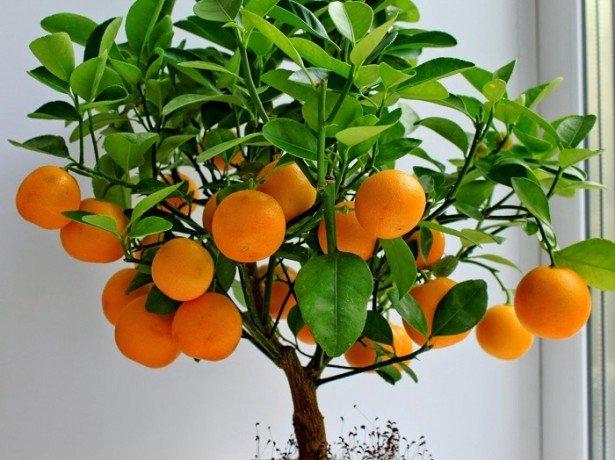 Как сделать из невкусного мандарина вкусный?
