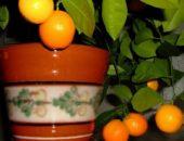 Фото дерева мандарин