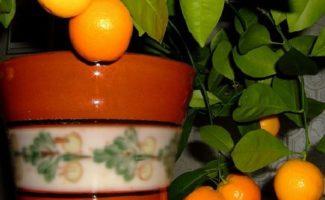 Как вырастить мандарин из косточки в домашних условиях – шаг за шагом