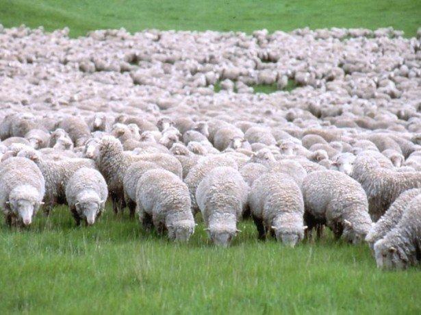 Знакомство с овцами-мериносами фото