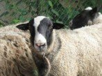 Мериносы – порода овец с теплой и красивой шерстью