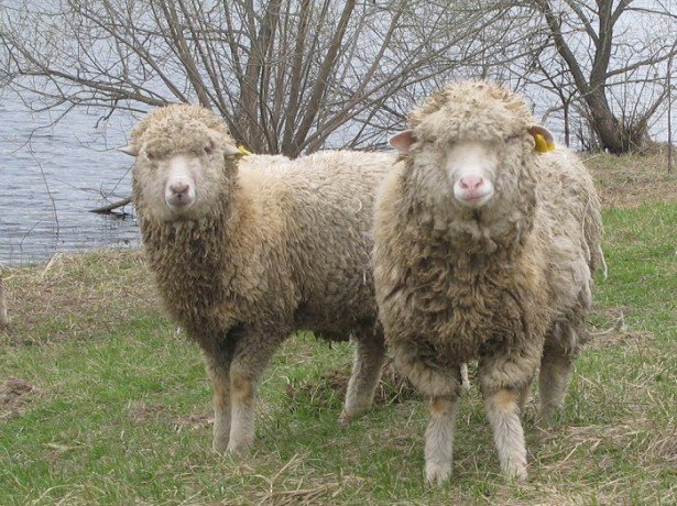 Знакомство с овцами-мериносами