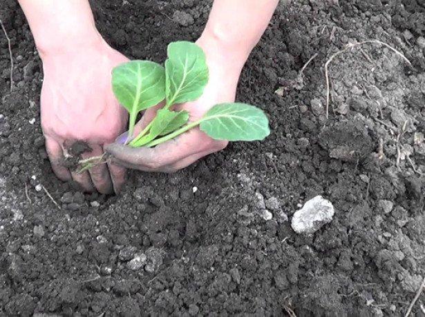 Посев семян капусты