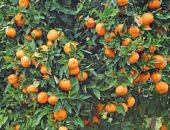 На фото дерево мандарин