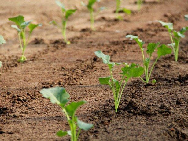 Что делать с рассадой капусты в июне?