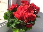 Бегония комнатная – уход и выращивание удивительного цветка