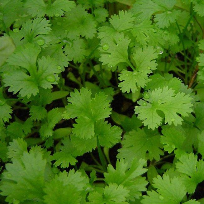 Выращивание кинзы и кориандра из семян: выбор места, посадка и уход, сроки сбора урожая зелени, семян