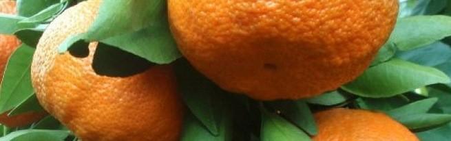 Мандарин в домашних условиях – уход и борьба с вредителями