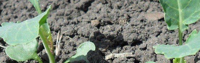 В каких случаях необходима пикировка капусты и как это правильно сделать