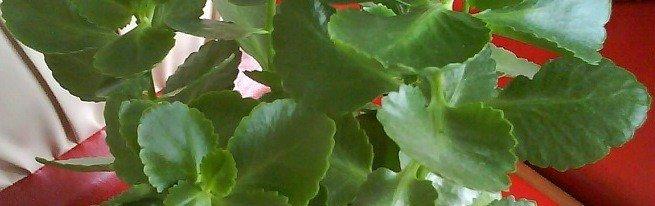 Почему не цветет каланхоэ – ищем причины