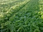 Салат левистро – технология выращивания и специфики других сортов