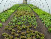 На фото выращивание салата в теплице