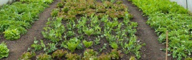 Выращивание салата в теплице зимой на продажу – основы начала бизнеса