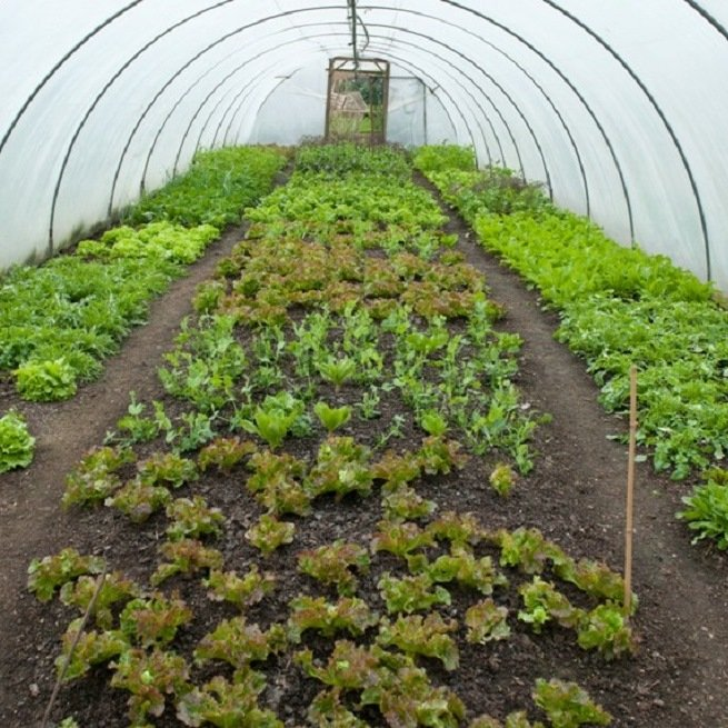 Выращивание лука на зелень в теплице 5