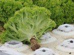 Выращивание салата на подоконнике – зеленая грядка на вашей кухне