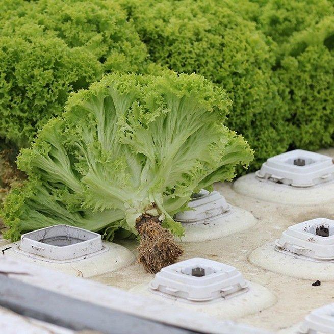 Для гидропоники прорастить семена салата как аптеке купить семя конопли