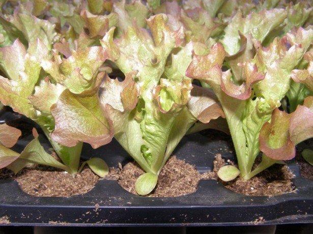 Выращиваем листовой салат на подоконнике