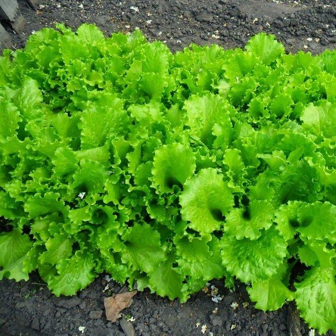 Фотография салата листового