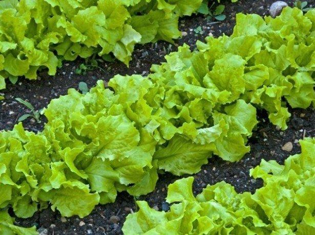 Выращиваем листовой салат в открытом грунте