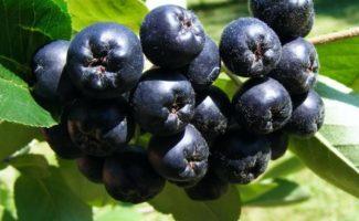 Знакомая и неведомая черемуха – полезные свойства и противопоказания