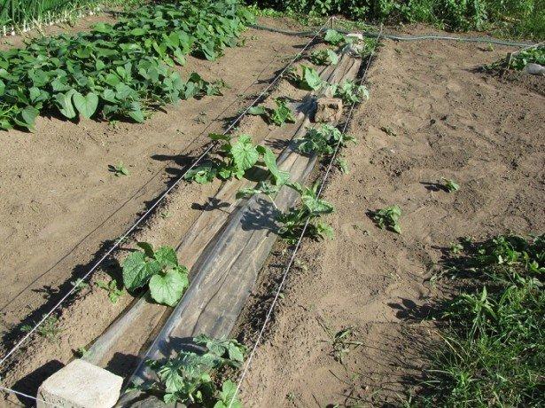 Выращивание арбузов в открытом грунте.