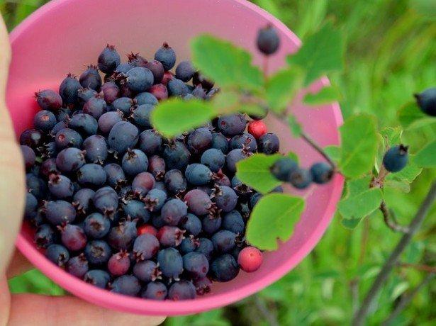 Как сушить черноплодную рябину фото