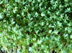Кресс салат — как выращивать дома вкусную и полезную зелень