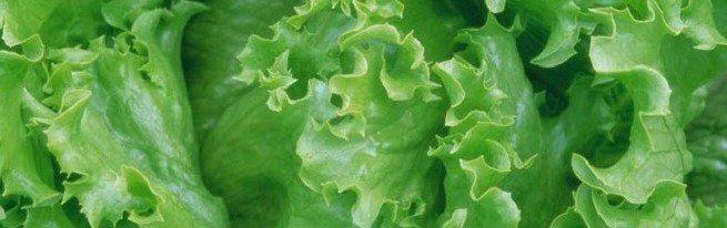 Салат айсберг – выращивание на даче и в домашних условиях