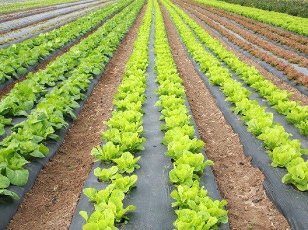 Выращивание в открытом грунте фото