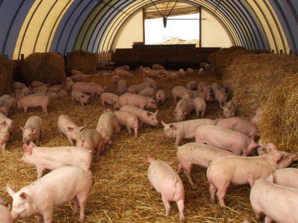 Выгодно ли свиноводство, если это будет приусадебное содержание?