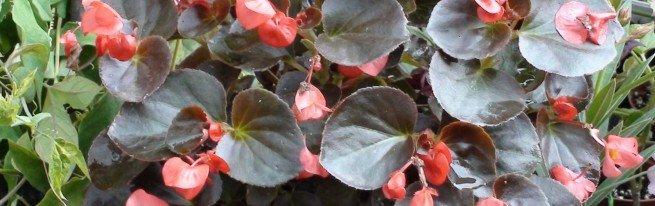 Бегония воротничковая – размножение, выращивания и ухода
