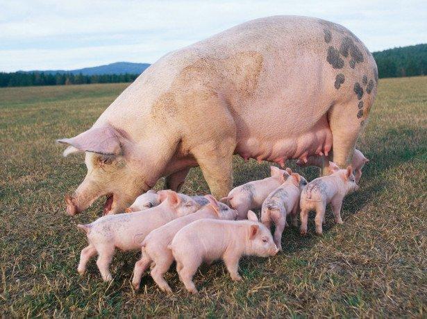 Свиноводство дома – с чего начать с нуля?