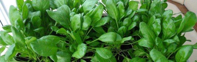 Как вырастить шпинат на подоконнике – от посева до урожая