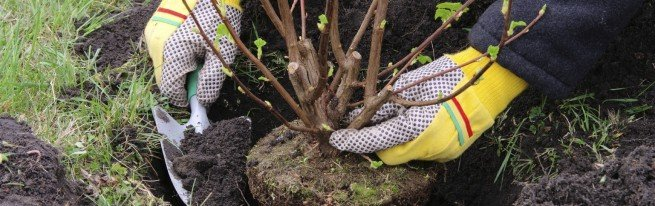 Пересадка вишни осенью на новое место с минимальным риском