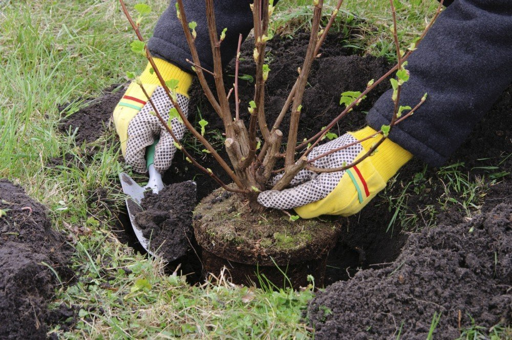 how-to-move-shrubs-before-construction-8