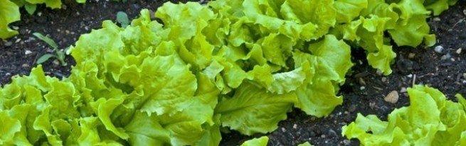Выращивание салата: в открытом грунте, в домашних условиях