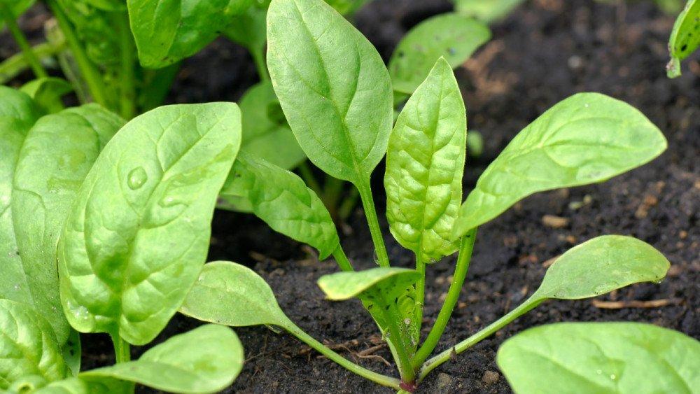 Как правильно выращивать шпинат в огороде