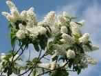 Когда цветет черемуха – приметы и наблюдения