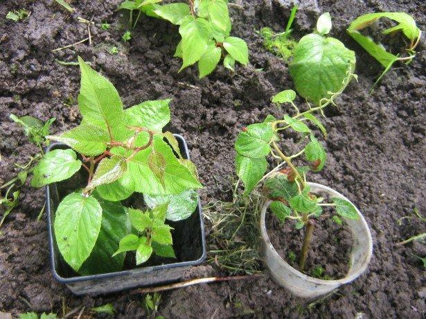 Посадка растения в домашних условиях