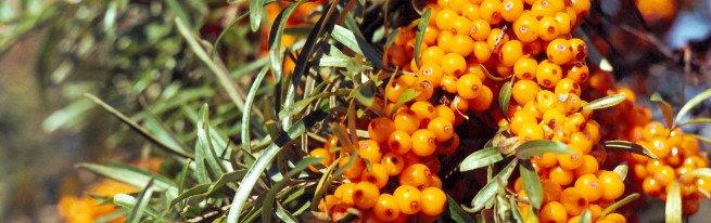 Облепиха – посадка и уход, а также способы размножения и борьба с вредителями