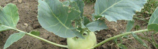 Репа – выращивание из семян и получение отличного урожая