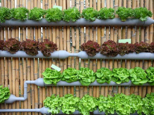 Цикл выращивания салата методом гидропоники