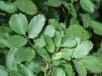 Каланхоэ перистое – правила ухода за  комнатным растением