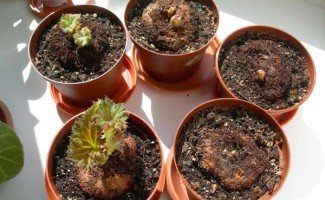 Правила выращивания и размножение из клубня