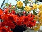 Бегония клубневая – посадка и уход - секреты опытных цветоводов